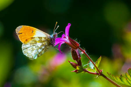 Anthocharis cardamines Orange tip male butterfly feeding on pink flower Geranium robertianum. Imagens