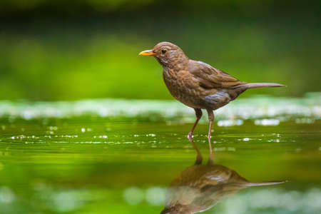 Closeup of a wet Common Blackbird female, Turdus merula washing, preening, drinking and cleaning in water. Selective focus and low poit of view