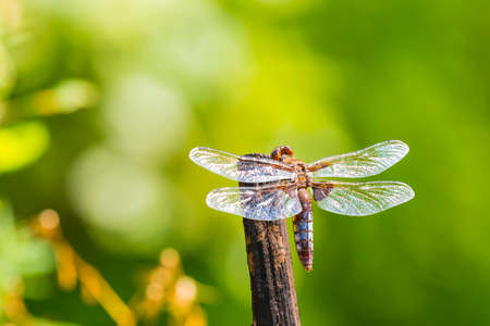 Closeup of a perched Libellula depressa, the broad-bodied chaser or broad-bodied darter male dragonfly. 写真素材