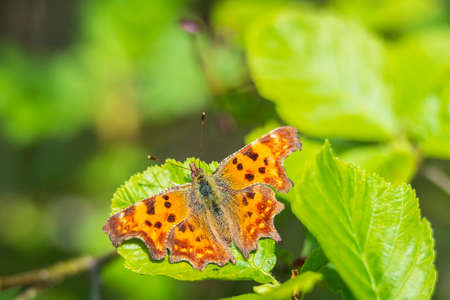 Comma butterfly Polygonia c-album resting in sunlight on vegetation in grassland with wings open, top view
