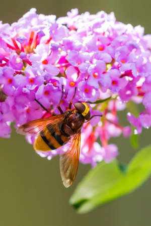 Volucella zonaria, the hornet mimic hoverfly, feeding nectar from purple flowers