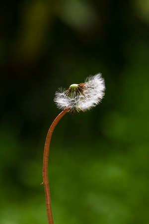 Dandelion seeds blowing away with the wind in a natural blooming meadow.