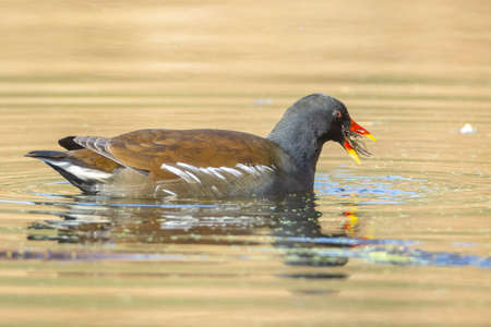 Close-up of a common moorhen, Gallinula chloropus, foraging in a pond on the water surface. The background is green, selective focus is used.