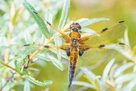 Close-up of a four-spotted chaser, Libellula quadrimaculata, or four-spotted skimmer dragonfly resting in sunlight on green already. Reklamní fotografie