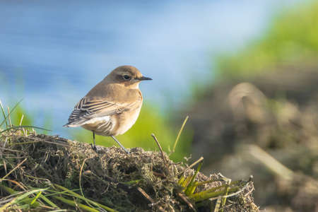 Northern wheatear, Oenanthe oenanthe, close-up in the morning sun