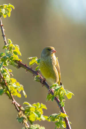 Colorful greenfinch bird Chloris chloris singing in Springtime Reklamní fotografie