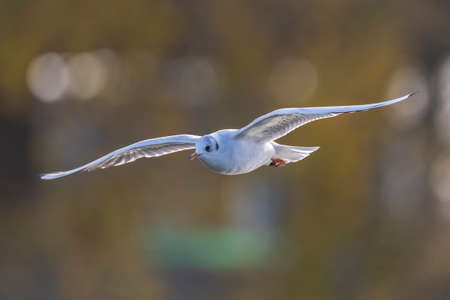 Close-up of a Black-headed gull, Chroicocephalus ridibundus, in-flight