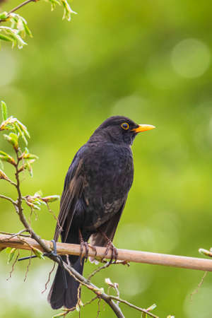 A male european Blackbird turdus merula singing in a tree in a garden on a clear, sunny day in Spring season.
