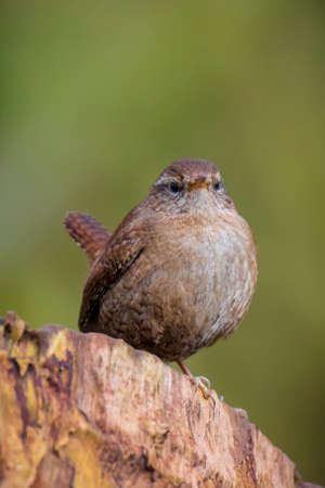 Closeup of a Eurasian Wren bird, Troglodytes troglodytes, bird singing in a forest during Springtime season.
