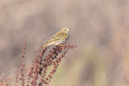 Meadow pipit, anthus pratensis, bird perched on vegetation in grassland.
