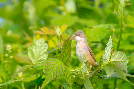 Closeup of a Whitethroat bird, Sylvia communis, foraging in a green meadow Reklamní fotografie