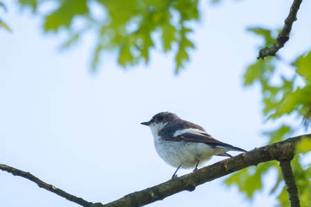 Closeup of a European pied flycatcher bird, Ficedula hypoleuca, perching on a branch, singing in a green forest during Springtime breeding season. Reklamní fotografie