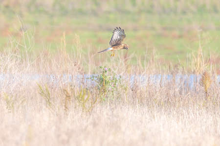 Female Hen harrier, Circus cyaneus, or northern harrier hunting above a meadow during a cold winter Reklamní fotografie