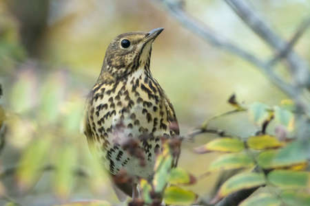 Closeup of a Song thrush Turdus philomelos bird eating berries during Autumn season
