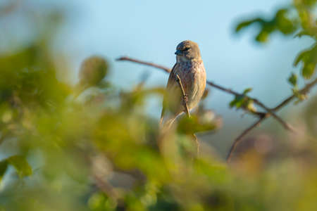 Closeup portrait of a Linnet birdmale, Carduelis cannabina, display and searching for a mate during Spring season. Singing in the early morning sunlight.