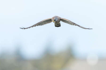 Closeup portrait of a female Common Kestrel, falco tinnunculus, in flight hunting