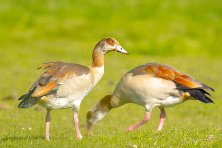 Egyptian geese, Alopochen aegyptiacus, on a meadow. They are native to Africa south of the Sahara and the Nile Valley Reklamní fotografie