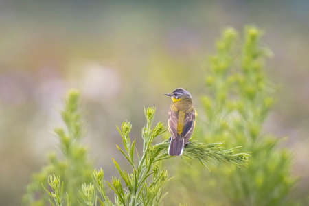 Closeup of a male western yellow wagtail bird Motacilla flava singing in vegetation on a sunny day during spring season. Reklamní fotografie