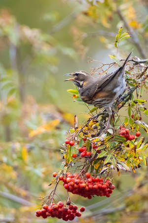 A redwing bird, Turdus iliacu, eating berries from a bush during Autumn season