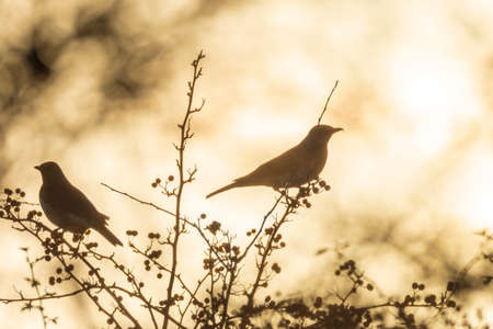 Beatiful silhouette of a fieldfare, Turdus pilaris, bird eating berries on a hawthorn bush during Autumn season sunrise.