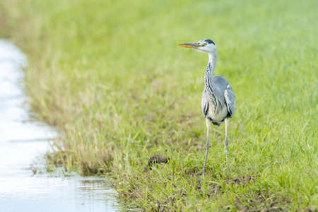 Closeup of a Gray heron, Ardea cinerea, waterfowl hunting in wetland Reklamní fotografie