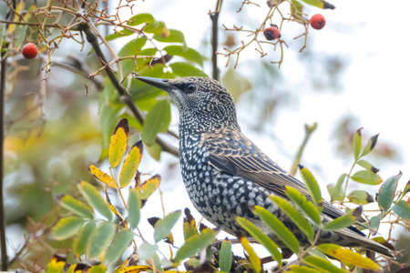 Common starling bird Sturnus vulgaris eating berries fruit during Autumn season