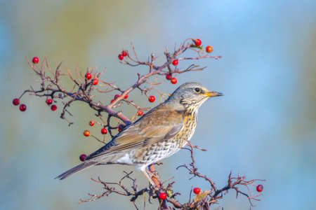 A fieldfare, Turdus pilaris, bird eating berries on a hawthorn bush during Autumn season. Reklamní fotografie