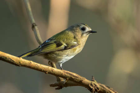 Closeup of a Goldcrest bird, Regulus regulus, foraging through branches of trees and bush Reklamní fotografie