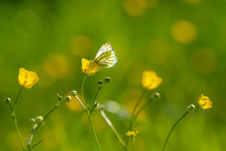 Green-veined white butterfly, Pieris napi, resting in a meadow hanging on a flower
