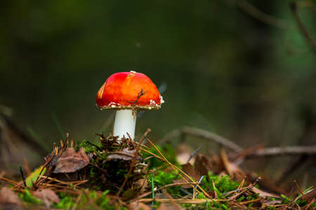 amanita muscaria, fly agaric or fly amanita basidiomycota muscimol mushroom with typical white spots on a red hat in a forest. Natural light, vibrant colors and selective focus. Banque d'images