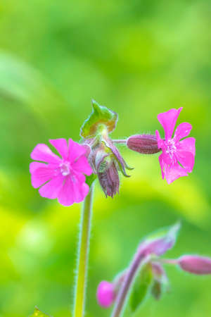 Closeup of the pink flowers of Silene dioica known as red campion and red catchfly blooming during Springtime season. 免版税图像