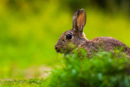 Closeup of a wild rabbit Oryctolagus cuniculus on the watch hiding in grass in a forest