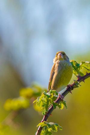 Colorful greenfinch bird Chloris chloris singing in Springtime Banque d'images