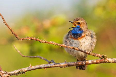 A blue-throat bird Luscinia svecica cyanecula singing in a tree to attract a female during breeding season in Springtime