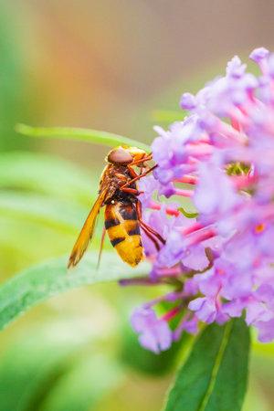 Volucella zonaria, the hornet mimic hoverfly, feeding nectar on purple Buddleja davidii flowers 免版税图像