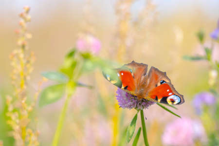 Aglais io, Peacock butterfly pollinating in a colorful flower field. Top view, wings open