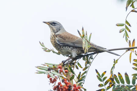 A fieldfare, Turdus pilaris, bird eating berries on a hawthorn bush during Autumn season. 免版税图像