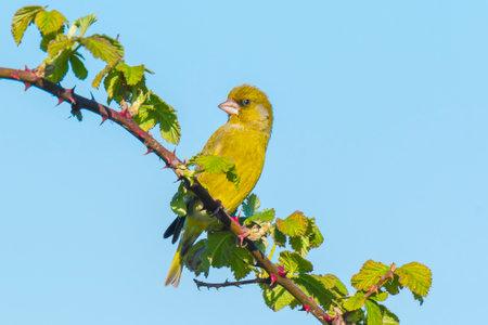 Colorful greenfinch bird Chloris chloris singing in Springtime 免版税图像