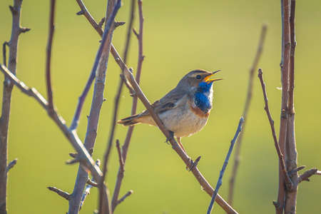 A blue-throat bird male Luscinia svecica cyanecula singing to attract a female during breeding season in Springtime