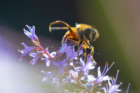 Closeup of a western honey bee or European honey bee Apis mellifera feeding nectar of purple flowers