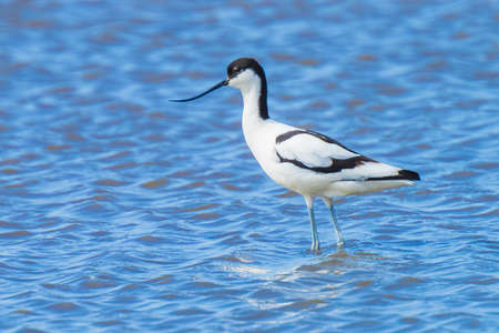 Close-up of a Pied Avocet, Recurvirostra avosetta, foraging in blue water