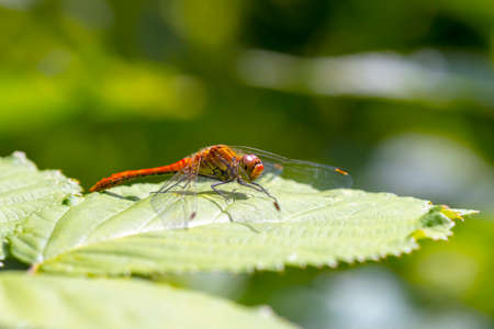 Close-up of a female ruddy darter Sympetrum sanguineum hanging on vegetation. Resting in sunlight in a meadow.