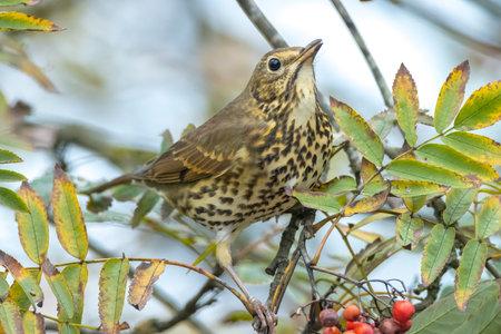 Closeup of a Song thrush Turdus philomelos bird eating berries during Autumn season