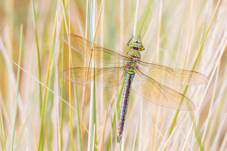 Closeup of a emperor dragonfly or blue emperor Anax imperator male, resting in vegetation on a sunny Summer day 免版税图像