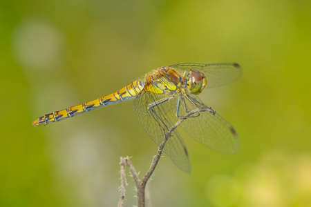 View of a common Darter, Sympetrum striolatum, female with his wings spread he is drying his wings in the early, warm sun light 免版税图像