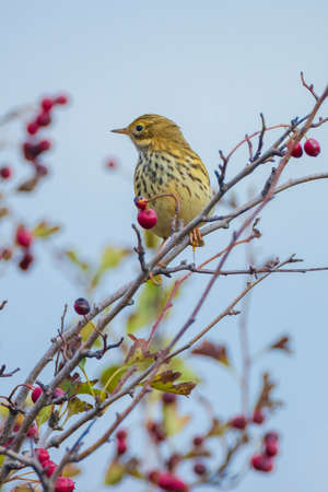 Closeup of a Song thrush Turdus philomelos bird singing in a tree with red berries