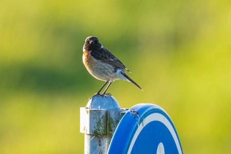 Stonechat male bird, Saxicola rubicola, close-up in the morning sun