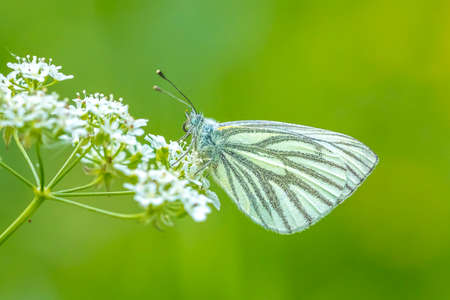 Green-veined white butterfly, Pieris napi, resting in a meadow on white flowers of Anthriscus sylvestris, known as cow parsley, a herbaceous biennial or short-lived perennial plant