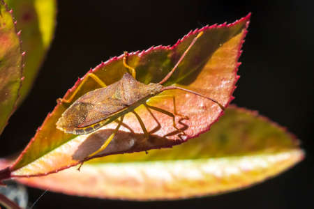 Closeup of a Sloe Bug insect, Dolycoris baccarum, crawling under sunlight in vegetation. 免版税图像