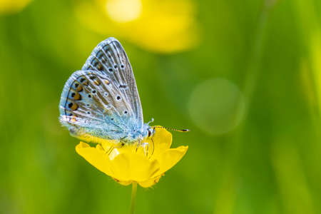 Early morning Common Blue butterfly, Polyommatus icarus, pollinating on a flower in a meadow under bright sunlight.